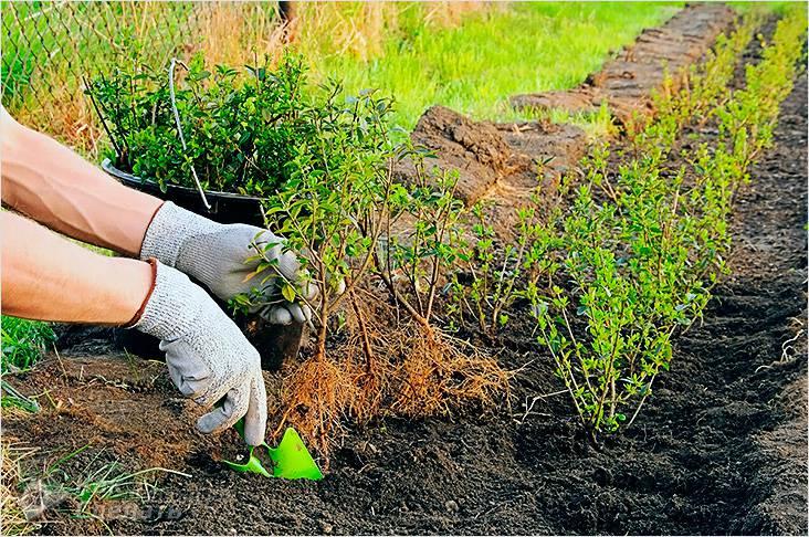 Быстрорастущая многолетняя живая изгородь на даче